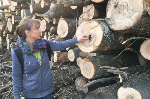 Typischer Fall von Kernfäule. Somit ist das Holz nur mehr als Brennmaterial oder zur Zelluloseerzeugung verwendbar.