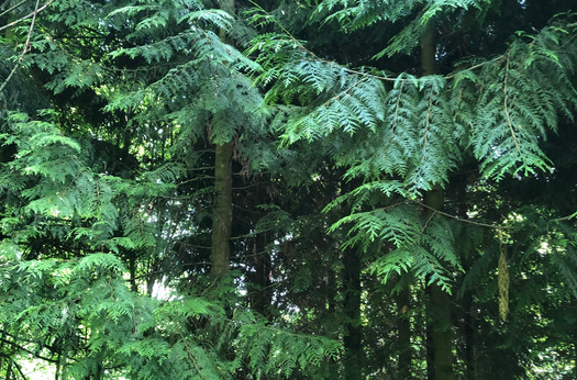 Versuchsfläche mit Riesenlebensbäumen