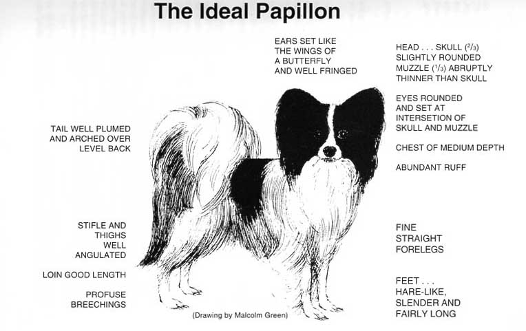 Papillon-Breed-Standard