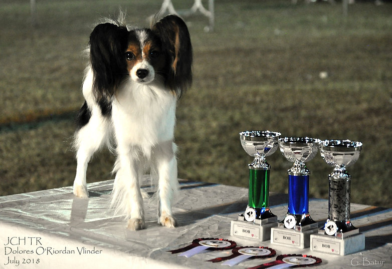 Junior Champion Turkey, Papillon, show dog