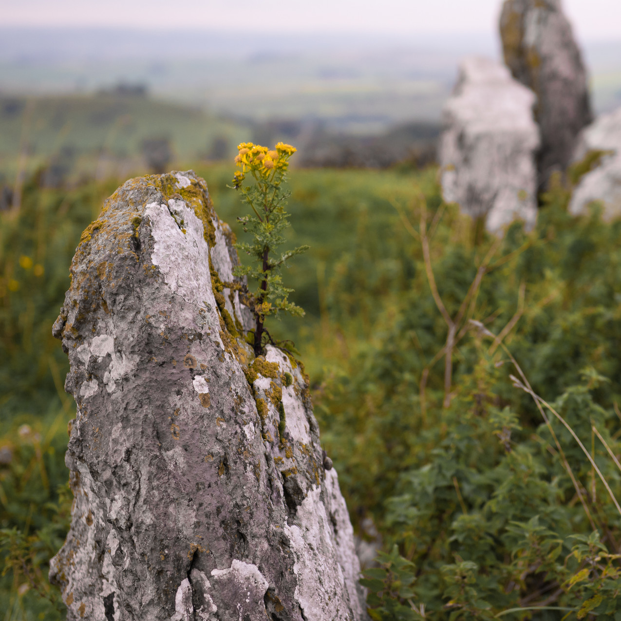 Rocky outcrop flowers