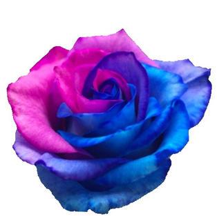 Rose Tinted Bicolor Hot-pink Blue