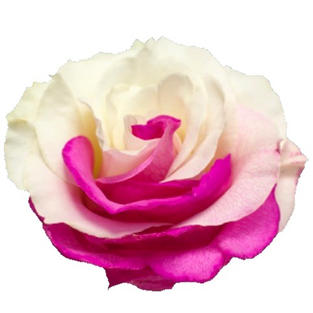 Rose Tinted Bicolor Hot-pink White