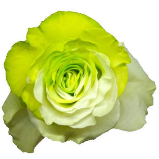 Rose Tinted Bicolor Green White