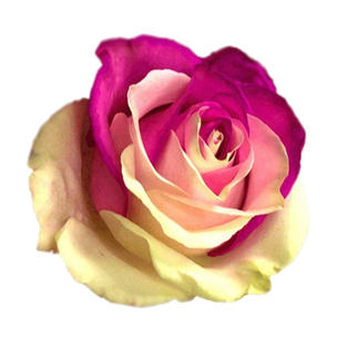 Rose Tinted Bicolor Red White