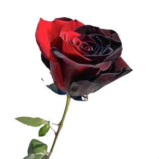 Rose Tinted Bicolor Red Black