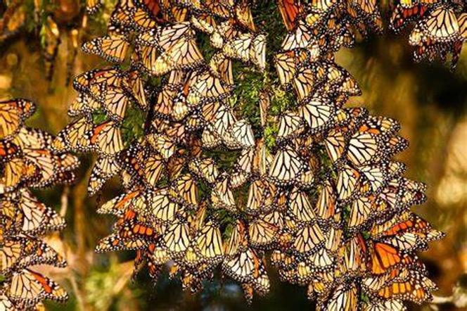 monarchmexico.jpg