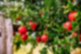 red-ripe-pomegranates-on-the-tree-in-the