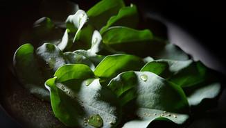 Still-life photography of oyster leaves / Stilleven fotografie oester bladeren