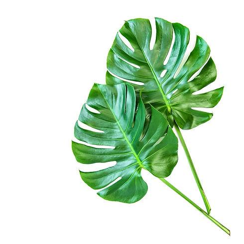monstera-leaves-white-background-tropica
