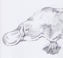 Platypus 1.jpeg