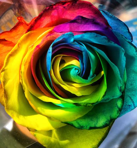 Pride Rose - Emily Gershman.jpeg