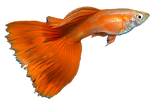 Fancy Guppies UK