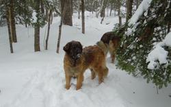 Snow Leos