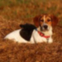 bagle hound.jpg