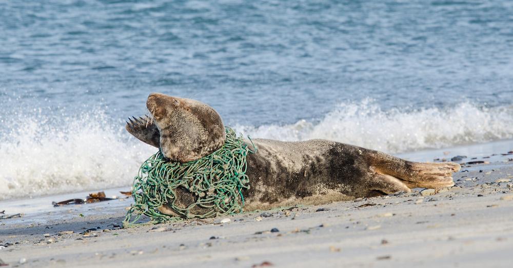 Seal stuck in abandoned fishing net