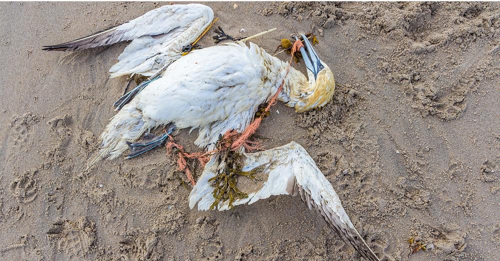Sea bird tangled in ghost fishing gear