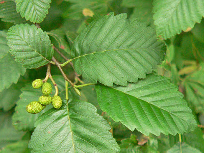 Leaves and female flowers
