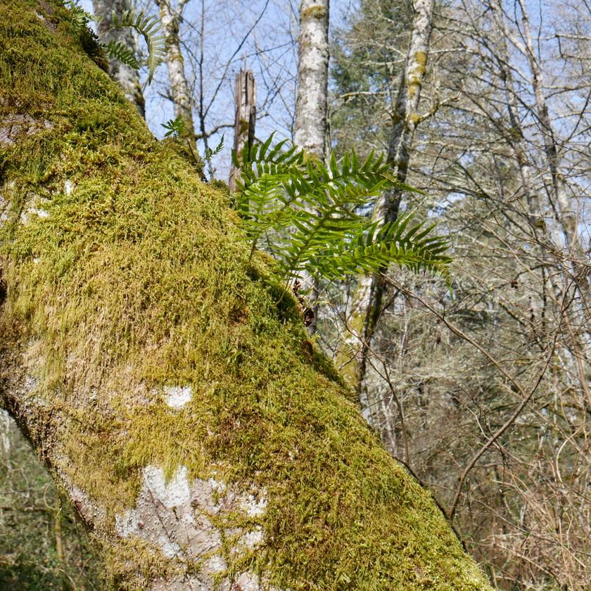 Moss and licorice ferns