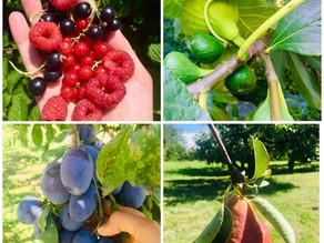 Mi a közös a gyümölcsben és az alkoholban?