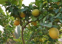 Oja_Farm_3_Zitronen_edited.jpg