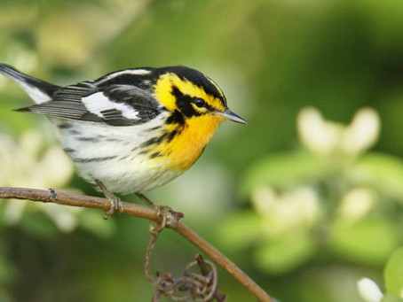 Safe Birding in the Warbler Capital of the World
