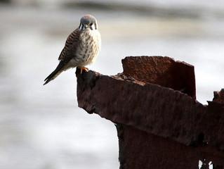 Coastal Brooklyn Winter Waterfowl