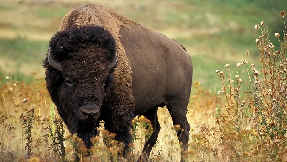 Buffalo in a field.jpg