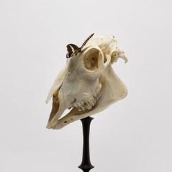 Ovis cranium.