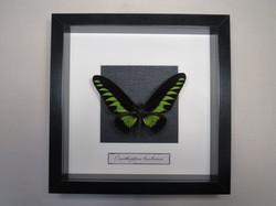 Ornithoptera brooekiana.