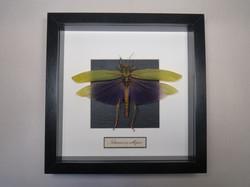 Titanacris albipes.