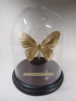 Papillon doré.