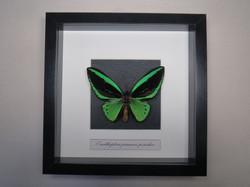 Ornithoptera priamus poseidon.