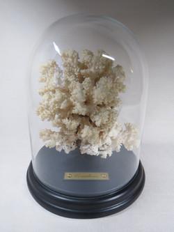 Corail blanc.