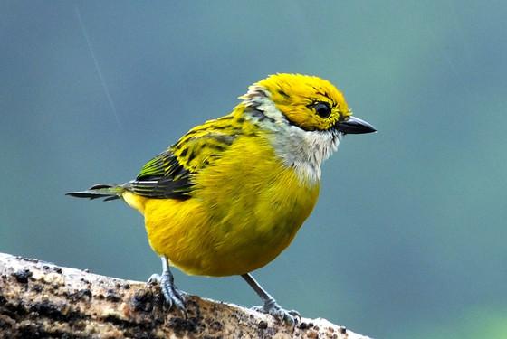 3 Easy Benefits of Virtual Birding Tours in Costa Rica