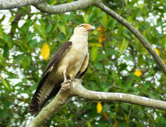 Quarantine Birding in Costa Rica- Which Birds Can Be Seen?