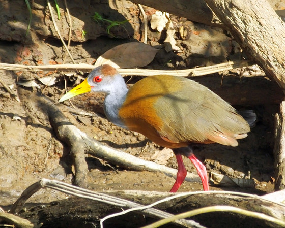 Photogenic Waterbirds from Costa Rica