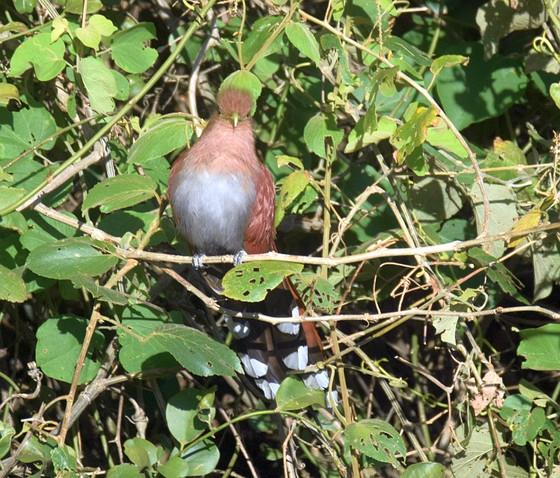 Better Birding in Costa Rica- Best Strategies