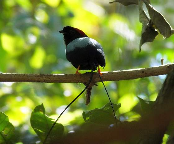 Birding in Costa Rica or Birding in Panama. What's the Difference?