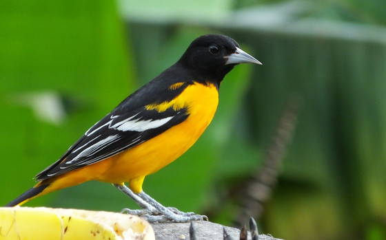 How Virtual Adventures in Costa Rica Help Baltimore Orioles and Other Birds
