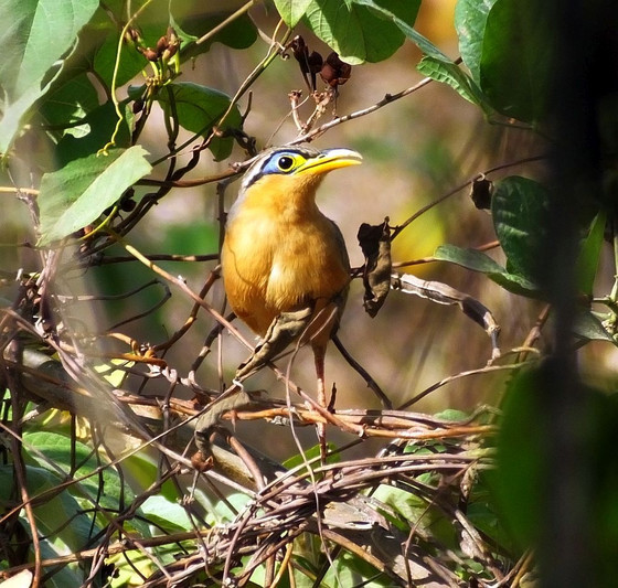 Five Stunning Dry Forest Birds of Costa Rica
