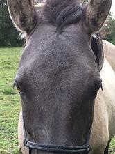 Equine Metabolic Syndrome, Cushings Disease