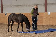 Foal Handling, Youngstock Handling