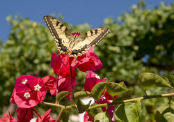 Swallow tail butterfly on Bougainvil