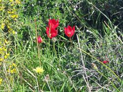 Akamas Tulips