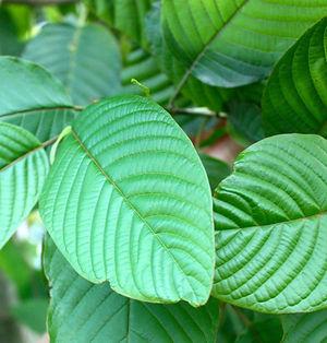 kratom-plant-new.jpg