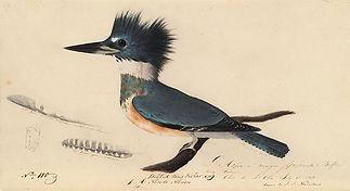 John_James_Audubon,_belted_kingfisher.jp
