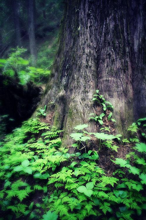 Ancient Cedar
