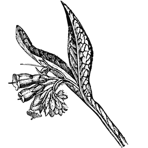 Comfrey%20lg_edited.png