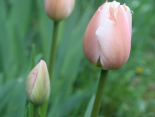 Tulip: Restore Hope and Confidence